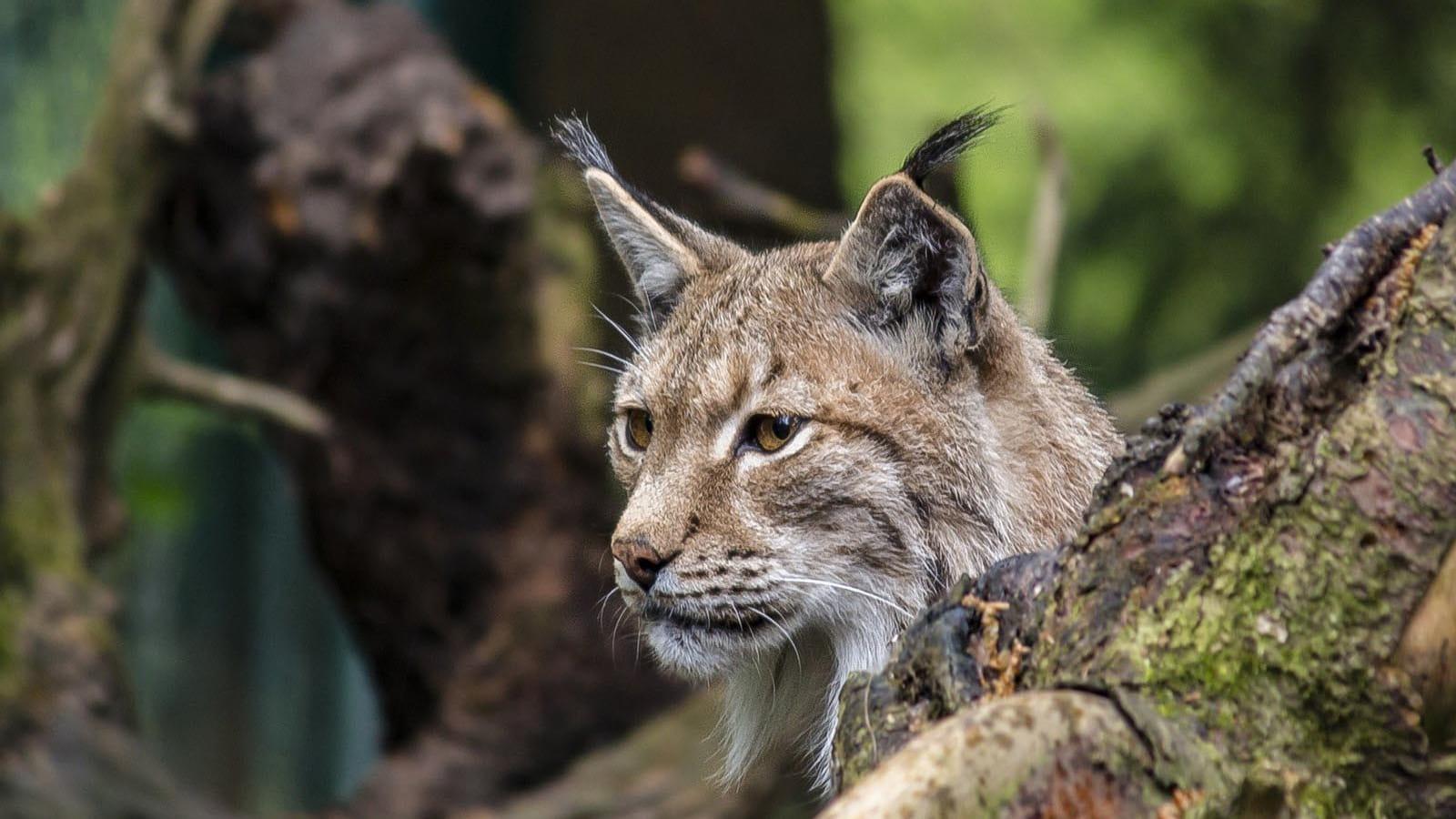 Photo lynx entre les branches