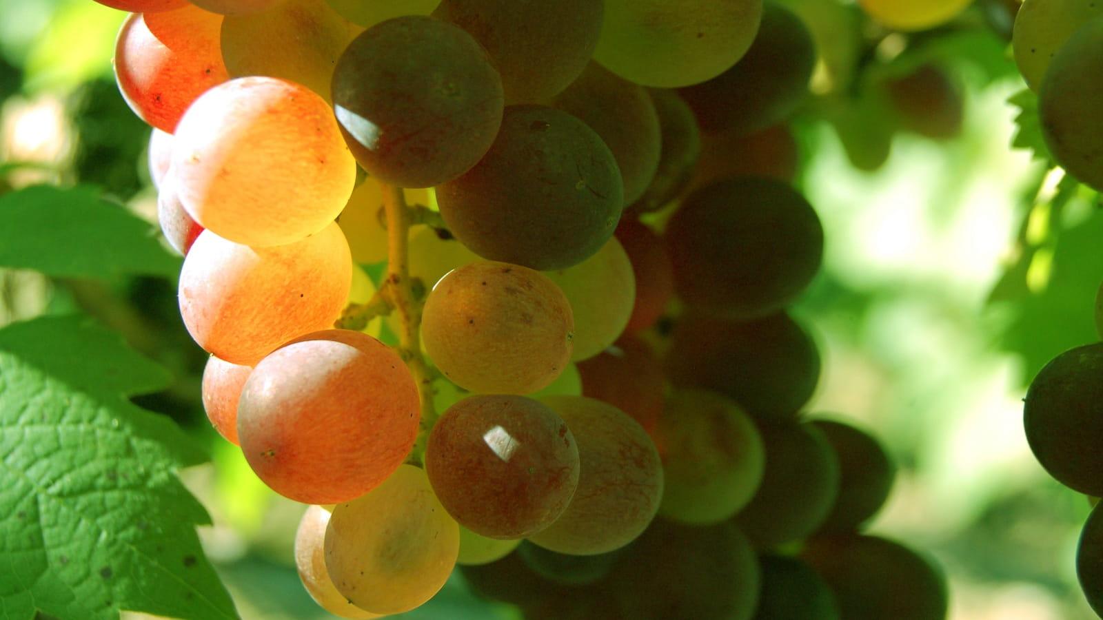 Raisin utilisé pour élaborer le vin de paille